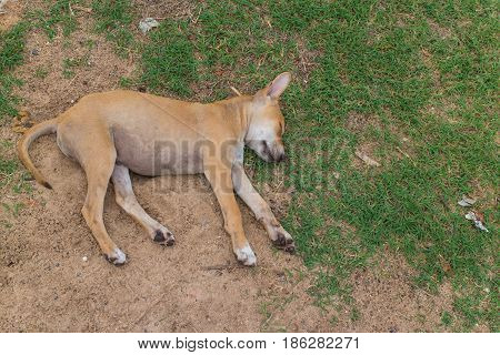 Brown young dog sleep on the ground