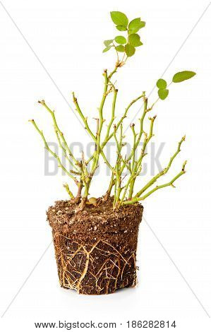 Bush of a decorative rose with roots isolated on the white background