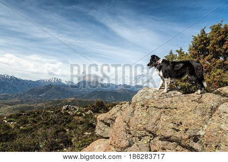 Border Collie On Rocky Outcrop Looking Over Mountains In Corsica