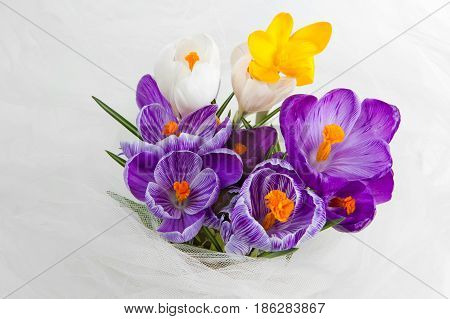 Crocus close up on the white background