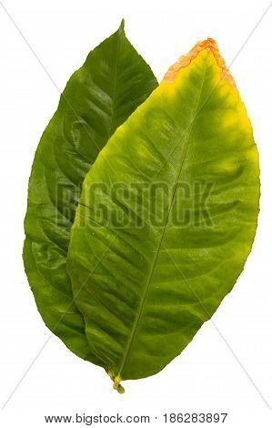 Lemon Leaf Salal (Gaultheria shallon) isolated on white