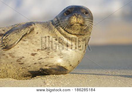 Endangered Harbor Seal