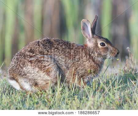 Eastern Cottontail Rabbit in tall grass, profile
