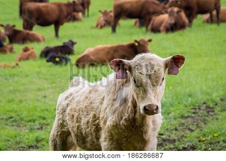 Calf And Cows On Pasture