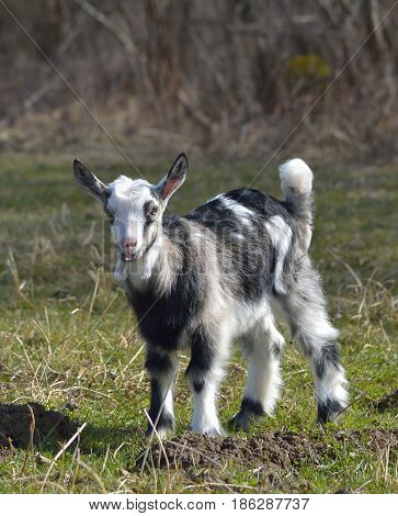 Cute baby goat on a lawn in spring
