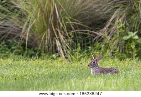 Marsh Rabbit In Deep Grass With Environment In Background