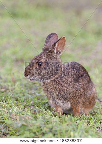 Marsh Rabbit In Deep Grass, Portrait In Profile View