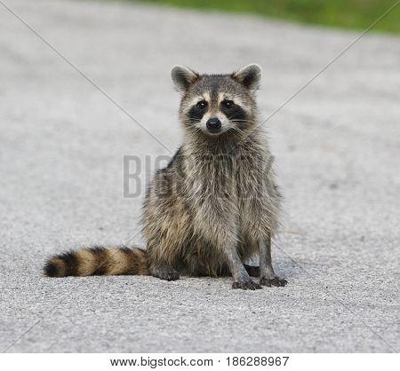 Raccoon sitting  in middle of asphalt road
