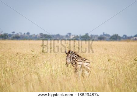 Zebra Looking Back In The High Grass.
