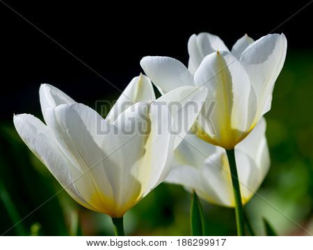 three white tulips with yellow veins and green leaves, a bright and contrasting photo on a black and green background, the flowers are flooded with sunlight, the plants grow in the garden