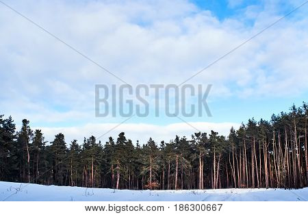 Edge of a forest cowered with snow. Winter coniferous forest