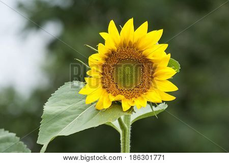 Bright yellow sunflower in Far Eastern Russia