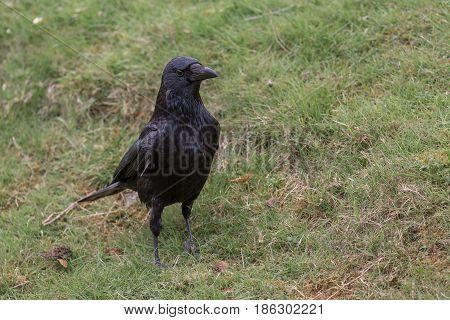 Carrion Crow (corvus corone) close up image