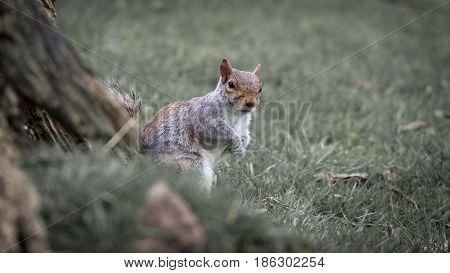 Wild grey squirrel (sciurus carolinensis) at base of tree