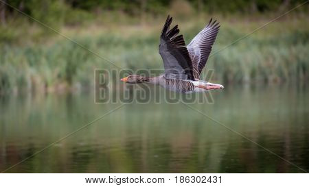 Greylag goose (Anser anser) on takeoff from river in UK