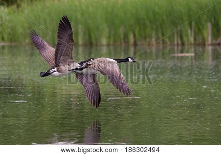 A pair of Canada Geese (Branta canadensis) in flight over river