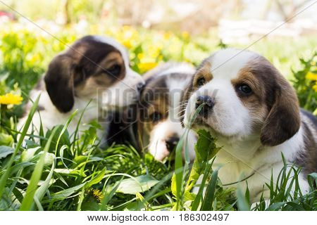 Small puppy of the Beagle breed in the grass on a bright sunny day in the blurred background of other puppies. Shallow depth of field