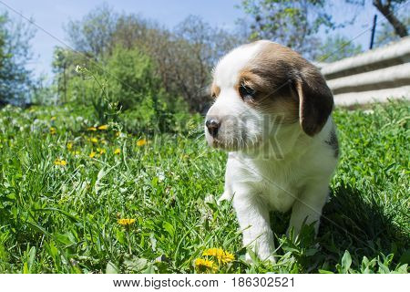 small puppy Beagle for a walk in the garden on a bright sunny afternoon. Shallow depth of field