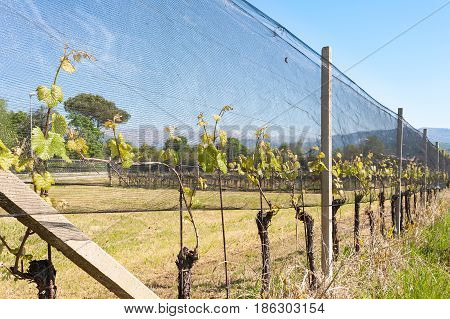 Agriculture. Vineyard in spring. Plants of vines covered by protective nets against hail and frost.