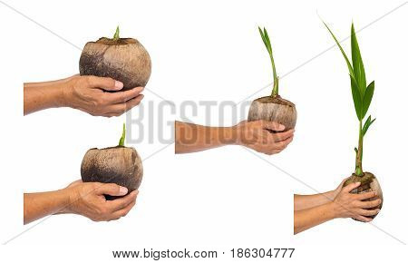 Coconut sprout. seedling of coconut tree isolate on white background. Growth of coconut. Hands holding a coconut sprout.