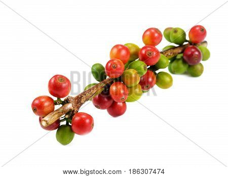 Red coffee beans isolated on white background. Close up of fresh raw coffee beans