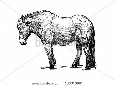Vector hand drawn illustration of draft horse in vintage engraved style. Black and white isolated on white.