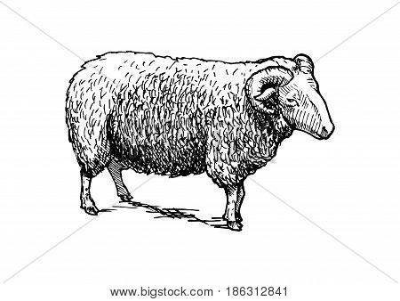 Vector hand drawn illustration of sheep ram. in vintage engraved style. Black and white isolated on white.