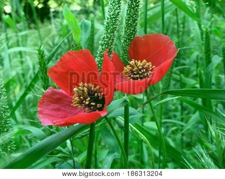 photography with scene two red field poppies