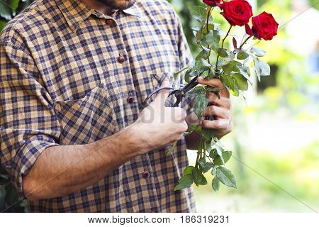 Hands of a man cuting off the rose in the garden. Close up