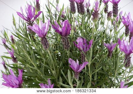 Lavandula stoechas, Spanish lavender, on a white background