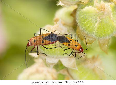 Red firebug breeding on green natural background
