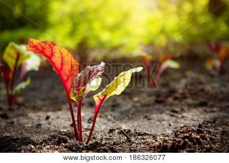New beetroot seedlings growing in black soil