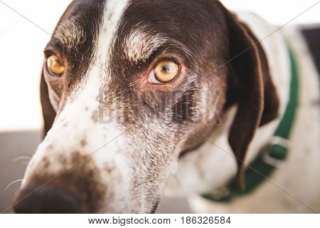 Eyes Of A German Shorthaired Pointer