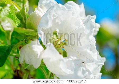 Apple trees flowers. the seed-bearing part of a plant, consisting of reproductive organs, stamens and carpels, that are typically surrounded by a brightly colored corolla petals