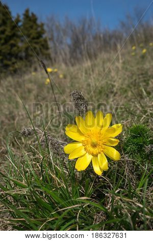 Yellow flower (Adonis vernal), flower in the nature