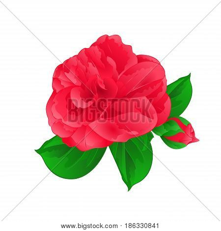 Camellia Japonica Flower with bud vintage hand draw vector illustration