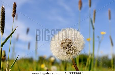 Close up of a  common dandelion blowball