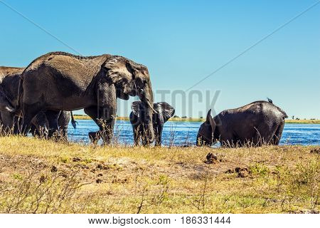 Watering in the Okavango Delta, Africa. The oldest national park in Botswana - Chobe National Park. Herd of elephants adults and cubs crossing river in shallow water