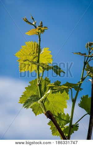 Grapevines in spring on a blue sky. Young grapevine leaf.