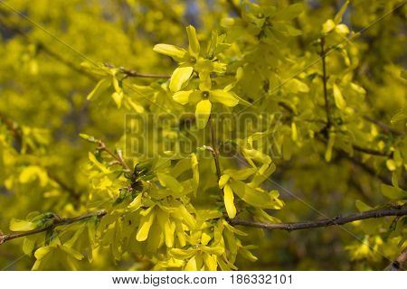 Blooming of the yellow forsythia. Symbol of spring and Easter