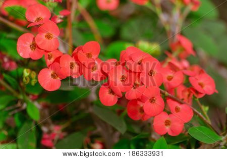 Euphorbia millii, red color flowers, a branch with a flowering plant crosses the photo diagonally, bright green leaves, botanical garden,