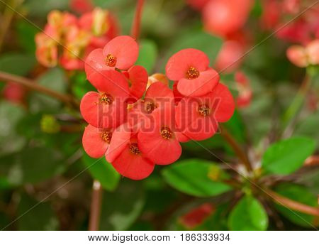 Euphorbia millii, red color flowers, a branch with a flowering plant in the center of the photo, bright green leaves, a botanical garden, small beautiful petals
