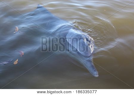 Beautiful Wild Dolphin Swimming