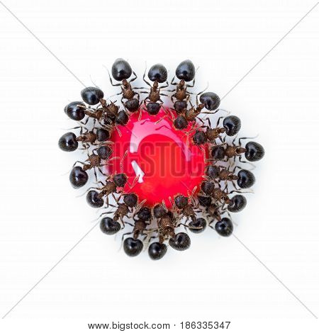 Super macro top view image of group of ants (Meranoplus sp.) eating red sweet droplet in the same order look like a flower isolate on white background