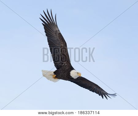 Bald eagle flying over the bay with blue sky background