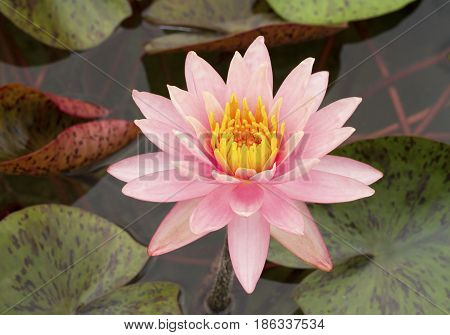 Pink waterlily flower on green leaves background