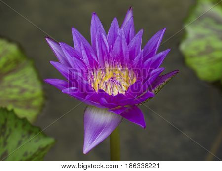 Purple waterlily flower with green leaf background