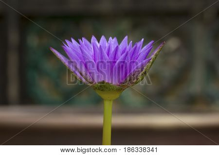 Purple waterlily flower on blurred natural background