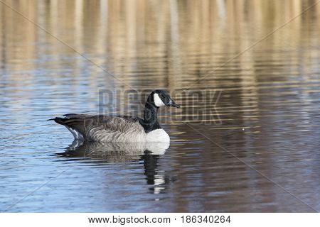 Canada Goose Floating On Water At National Elk Refuge