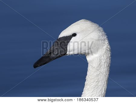 Trumpeter swan portrait with blue water pond